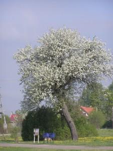 drzewo Fot. W. Cymbalisty